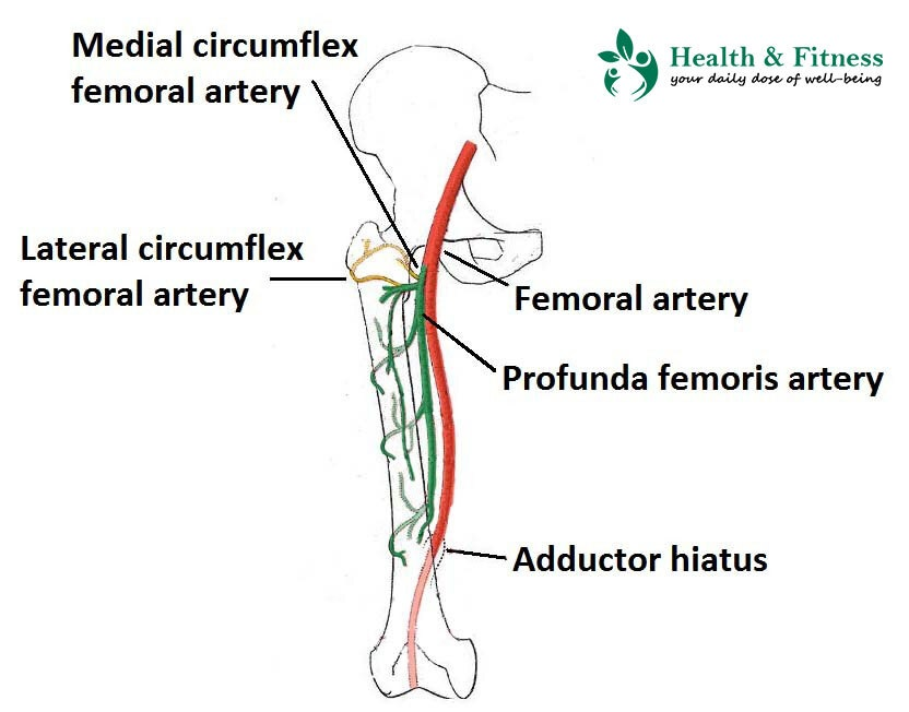 Femoral Artery & Its Branches